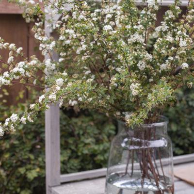 Flowering Spirea Branches